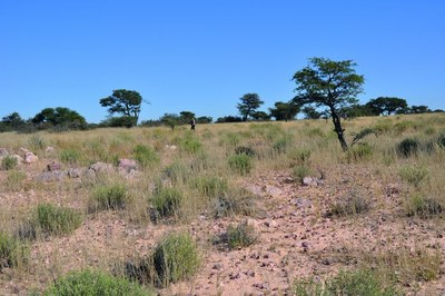 Landscape in the southern Kalahari near Tsabong in Botswana. Stone artefacts are visible in the foreground of the image (photo: Michael Ecker).